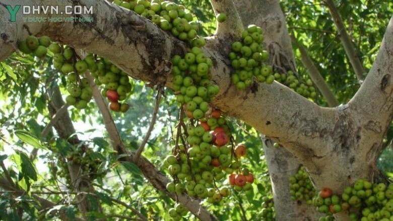 cây quả sung